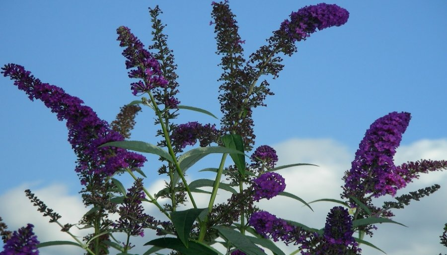 Kwiatostany budlei