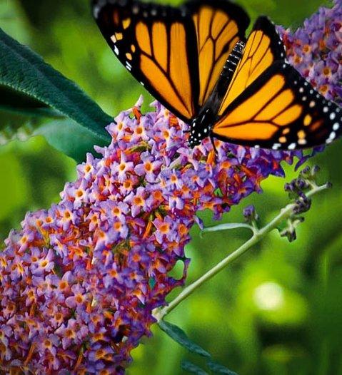 Motyli krzew