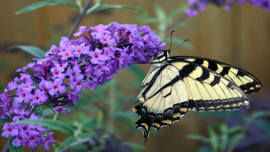 Motyl na kwiatostanie