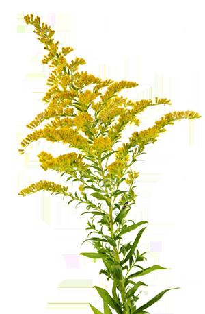 ziele nawłoci