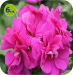 Pelargonia wisząca fioletowa 6 sztuk