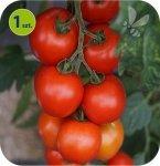 Pomidor szczepiony Sportivo