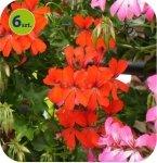 Pelargonia wisząca pojedyncza czerwona 6 sztuk