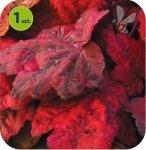 Heuchera Autumn Leaves 6 sztuk