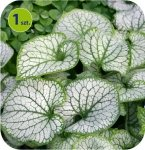 Brunnera Sea Heart 1 szt.
