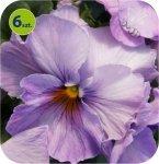 Bratek Lavender 6 sztuk
