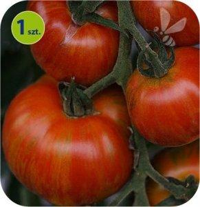 Pomidor szczepiony Zebrino