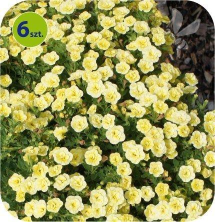 Calita (Million bells) pełna żółta 6 sztuk