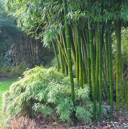 zielony bambus drzewiasty mrozoodporny phyllostachys. Black Bedroom Furniture Sets. Home Design Ideas