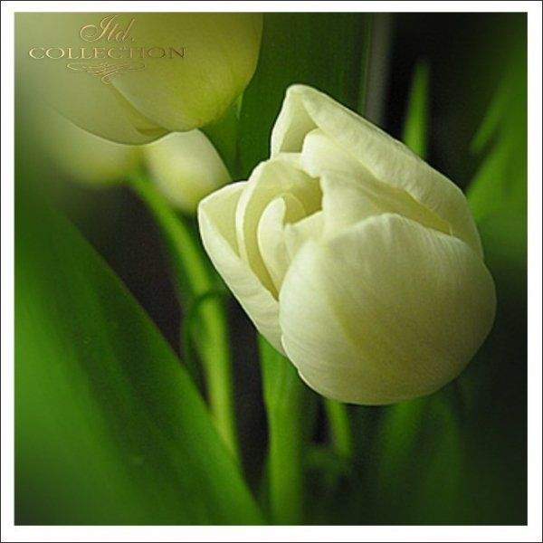 Zaproszenia ślubne / Zaproszenie 01721_tulipan