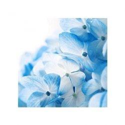 Hydrangea flowers background - reprodukcja