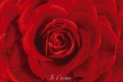 Czerwona róża - red rose  - plakat