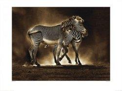 Zebra, Zebry - reprodukcja