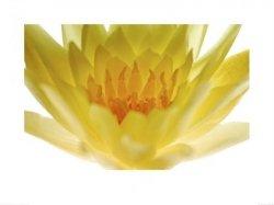 Żółty kwiatek - reprodukcja