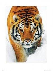 Tiger Snow - reprodukcja