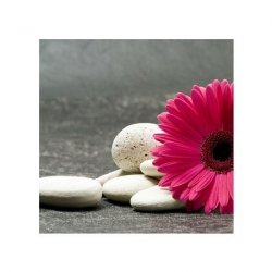 Gerbera pink - reprodukcja