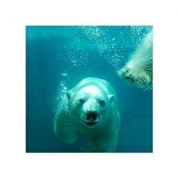 Niedźwiedź polarny - reprodukcja