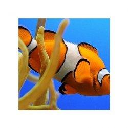 Nemo - reprodukcja
