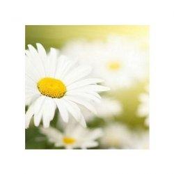 Biały kwiat - reprodukcja