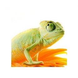 Kameleon na kwiatku - reprodukcja