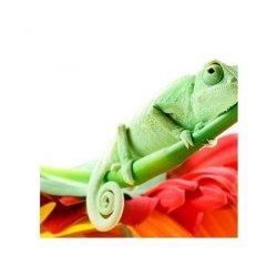 Kameleon - reprodukcja