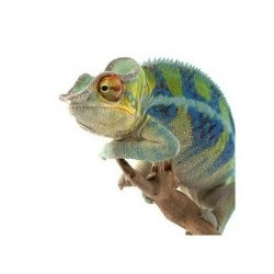 Kameleon Ambanja Panther - reprodukcja