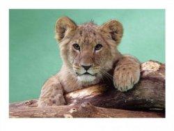 Lion Cub - reprodukcja