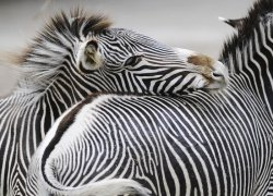 Fototapeta do salonu - Zebra - 254x183 cm