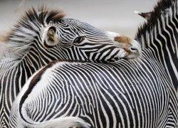 Fototapeta do sypialni - Zebra - 320x230cm