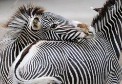 Fototapeta do salonu - Zebra - 366x254 cm