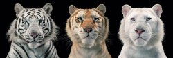 Tim Flach (Tiger Breeding Series) - plakat