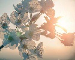 Białe Kwiatki i Zachód Słońca - plakat