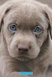 Szczeniak - Niebieskie Oczy - plakat