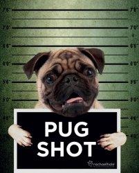 Mops Pug Shot Banjo - plakat