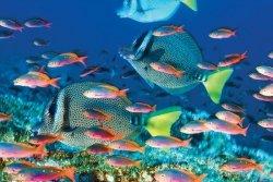 Rafa Koralowa Prionurus laticlavius - plakat
