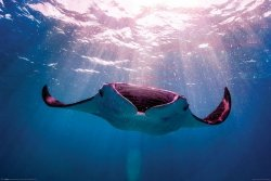 Manta Ray Diabeł Morski - plakat