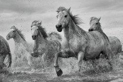 Camargue Galopujące Białe Konie - plakat ze zwierzętami