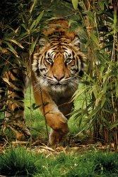 Tygrys Bengalski Drzewo Bambusowe - plakat