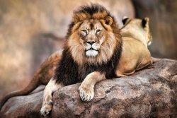 Lew Król Zwierząt - plakat