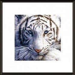 Obraz w ramie - Biały tygrys - 40x40 cm